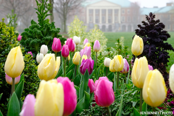 Spring tulips bloom along Hearn Plaza on a misty March morning.